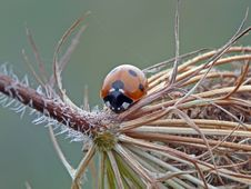 Free Seven-spoted Ladybird Stock Image - 23097911