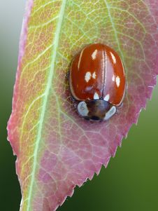 Free Striped Ladybird Stock Photo - 23097930