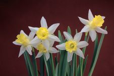 Free Narcissus Stock Photo - 23099640