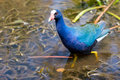 Free Purple Gallinule Royalty Free Stock Photography - 2310357