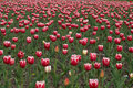 Free TULIPS FIELD III Stock Photo - 2310480