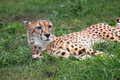 Free Cheetah Stock Photography - 2310502