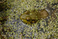 Free Frog Resting In Duckweed Stock Images - 2313524