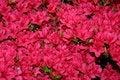 Free Pink Azalea Stock Image - 2314281