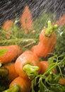 Free The Carrots & Rain Stock Photography - 2316712