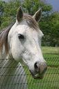 Free Gray Horse Stock Photo - 2319570