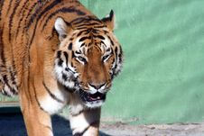 Free Tiger Royalty Free Stock Photo - 2310195