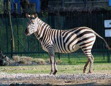 Free Zebra Stock Photo - 2310250