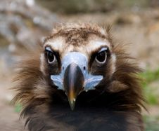 Free Vulture Royalty Free Stock Photo - 2310655