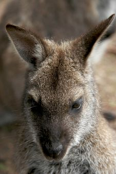 Free Alert Wallaby Royalty Free Stock Photography - 2310777