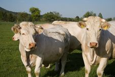 Free Cows Royalty Free Stock Images - 2311849