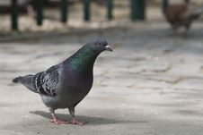 Pigeon Close-up Stock Images