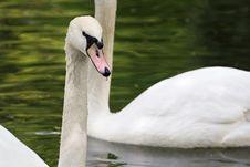 Free Swan Head Royalty Free Stock Photos - 2312298
