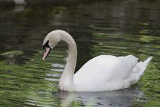 Free Swan On Lake Stock Photography - 2312302