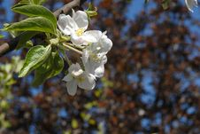 Free Apple Flower Stock Image - 2312471