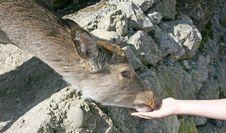 Free Deers 11 Stock Images - 2312694