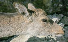 Free Deers 12 Stock Images - 2312754