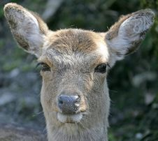 Free Deers 15 Stock Photo - 2313050
