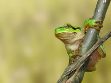 Free Tree Toad Royalty Free Stock Images - 2313869