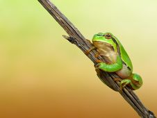 Free Tree Toad Stock Photo - 2313880