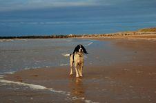 Free English Springer At The Beach Stock Photos - 2314073
