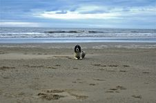 Free English Springer At The Beach Royalty Free Stock Image - 2314106