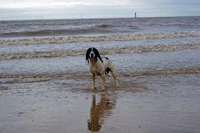 Free English Springer At The Beach Royalty Free Stock Images - 2314109