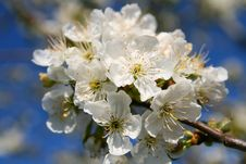 Free Cherry Flower Stock Image - 2314141