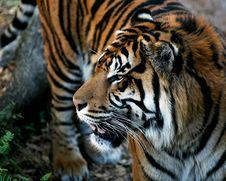 Free Tiger Close-up Stock Photos - 2314283