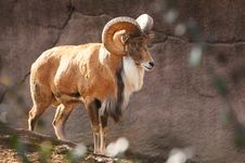 Free Bighorn Sheep Stock Photos - 2314663