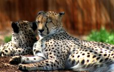 Free Two Cheetahs Eyes Closed Royalty Free Stock Images - 2314729