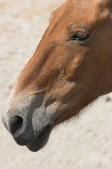 Free Przewalski S Horse Royalty Free Stock Image - 2314916