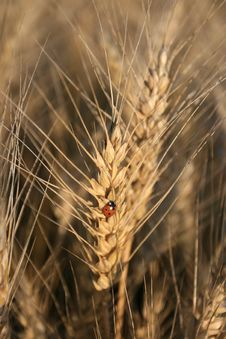 Lady Bug On The Crops