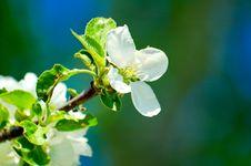 Free Sakura Stock Photography - 2316512