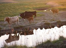 Free Cattle Stock Photography - 2317702