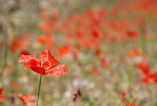 Free Field Of Red Poppies Stock Photography - 2318112