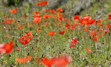 Free Field Of Red Poppies Royalty Free Stock Images - 2318129