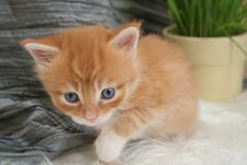 Free Small Kitten Royalty Free Stock Photo - 2318285