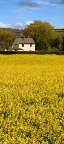 Free Rapeseed Field Stock Photos - 2318403