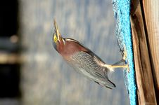 Free Little Green Heron Stock Photo - 2318890