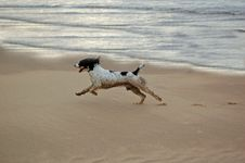 Free English Springer At The Beach Stock Photo - 2319490