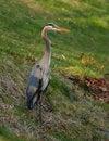 Free Blue Heron Ardea Herodias Fishing On A Lake Bank Royalty Free Stock Image - 23101596