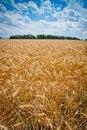 Free Wheat Field Royalty Free Stock Photo - 23102645