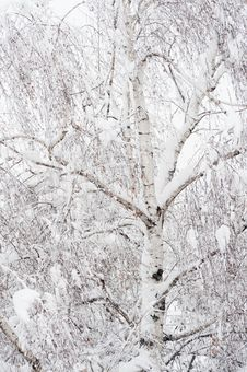 Free Frosty Winter Tree Royalty Free Stock Photo - 23100805