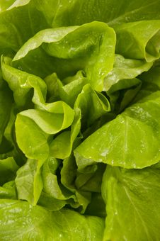 Free Lettuce Stock Photos - 23100833