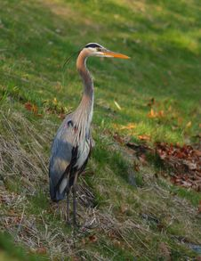 Free Blue Heron Ardea Herodias Fishing On A Lake Bank Royalty Free Stock Image - 23101596