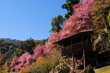 Sakura Thailand Stock Images