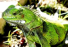 Free Green Iguana Lizard Stock Photos - 23105623