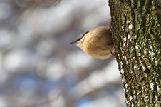 Free Nuthatch, Sitta Europaea Royalty Free Stock Photo - 23107625