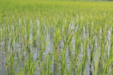 Free Green Paddy Fields Of Rice, India Royalty Free Stock Photo - 23112785